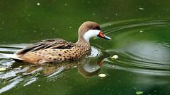 DSC08601_DxO (Franck Zumella) Tags: reflection bird water rouge duck eau teal bec reflexion oiseau canard brun mottled redbilled