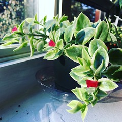 Like a million suns it calls me, on and on... (Elizabeth Francesca Perone) Tags: houseplant windowsill morningsun