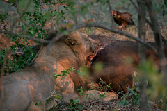 Catched buffalo (knipslog.de) Tags: africa southafrica buffalo wildlife urlaub lion safari sdafrika krugernationalpark bigfive big5 suedafrika krgernationalpark