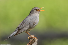 Tickell's thrush #151 (ramsfotobites - my experiments with light) Tags: 14tciii 14tc 2016 500mmf4 7d2 avian birding canon incredibleindia nationalgeographic prime aves aviafauna birdphotography birdwatching birder birds birdwatcher india myexperimentswithlight natural nature photography ramkrishr ramsfotobites twitcher water waterbody wild wildbirds wildlife sattal lifer tickells thrush tickellsthrush turdusunicolor turdus unicolor