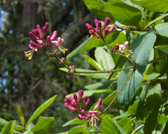 Hairy honeysuckle (Tom Clifton) Tags: wildflower pointlobos hairyhoneysuckle southplateau