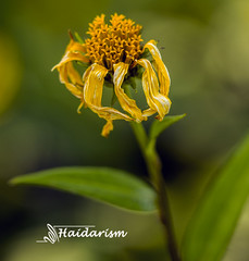 Flower Wilting (haidarism (Home Sweet Home)) Tags: yellow wilting wilt flower bud plant bokeh outdoor nature depthoffield sonya65 macro macrophotography green leaf wish ngc