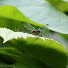 Schau mir in die Augen... (   flickrsprotte  ) Tags: germany deutschland natur augen libelle insekt kiel schleswigholstein flgel botanischergarten flickrsprotte
