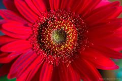 Red flower (Eleonora Cacciari) Tags: redflower eos1200d emiliaromagna ecacciari eleonoracacciari fiore fotografia flower
