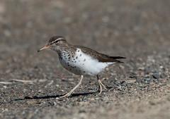 Spotted Sandpiper, Monchy Woods Road (frank.king2014) Tags: ca canada gander spottedsandpiper newfoundlandandlabrador