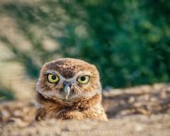 Burrowing Owl (DeniseDewirePhotography) Tags: ca cute bird eyes feathers owl davis burrowingowl