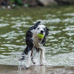 Shake it off (www.higbyphotography.com) Tags: park summer dog playing wet swimming dallas texas spray shake bordercollie dogpark fetch summerholiday whiterocklake flickrfriday