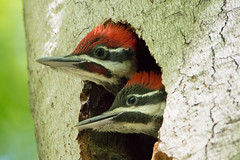 Pileated Woodpecker chicks (NicoleW0000) Tags: family baby ontario canada bird nature birds photography woodpecker babies watching chicks pileated