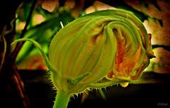 Flor de calabaza * (Franco DAlbao) Tags: flower strange lumix flor bud calabaza capullo extraa pumpkink dalbao francodalbao