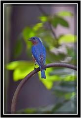 DSC_2188 Mr Bluebird with border (tbullipoo) Tags: bluebird
