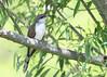 _53F6234YellowBilledCuckoo (~ Michaela Sagatova ~) Tags: yellowbilledcuckoo birdphotography michaelasagatova
