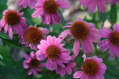 Pink Cone Flowers (Maggggie) Tags: pink flowers summer plants garden outside backyard coneflowers