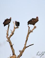 Hooded and Lappet-faced Vultures- Kruger National Park, South Africa (wsweet321) Tags: africa bird nature southafrica mammal birding safari research endangered krugernationalpark kruger satara savanna bigfive skukuza knp lowersabie