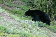 20160601_HurricaneRidge42.jpg (tjludwick) Tags: bear mammal us washington flickr unitedstates portangeles hurricaneridge blackbear olympicnp