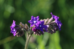 Anchusa officinalis, Ochsenzunge (julia_HalleFotoFan) Tags: pflanzen ostsee fehmarn ochsenzunge anchusaofficinalis inselfehmarn