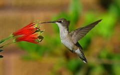 ruby throated hummer (Shelby Townsend) Tags: hummingbird