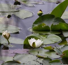 Waterlillies (MaggyN) Tags: waterlily loch waterlillies dalbeattie