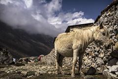 Mountain pony (Adept Photography) Tags: nepal stupa monastery nepalese yaks everest himalayas 2016 tengboche stupas