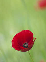Elan vital ** (Titole) Tags: poppy titole nicolefaton green red bokeh thechallengefactory unanimouswinner