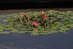 Canon212256 (godrudy6661) Tags: flower neworleans waterlillies noma citypark neworleansmuseumofart