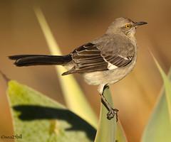 NORTHERN MOCKINGBIRD (sea25bill) Tags: california morning sun bird nature animal wildlife northernmockingbird omnivore agaveplant