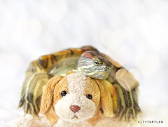 Hugs from Rosy (City Turtles) Tags: nyc dog pet cute love animal canon photography 50mm photo flickr turtle adorable hugs whitebackdrop dslr xoxo redearedslider petphotography