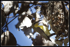 Olive-backed Sunbird (Female) building her nest (Gerald Yuvallos) Tags: bird nature birds canon nest philippines 300mm 7d cebu sunbird 2x olivebacked 28is istoryanet fafagraphy