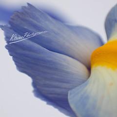 Ptale d'iris (KtrinePhotography(katof)) Tags: me2youphotographylevel2 me2youphotographylevel3 me2youphotographylevel1 me2youphotographylevel4