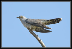 Cuckoo (Full Moon Images) Tags: bird nature wildlife bcn reserve national trust fen cambridgeshire cuckoo woodwalton nnr greatfen