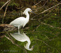 Majestic Egret (Rick Smotherman) Tags: park water birds canon river garden outdoors morninglight spring pond stream feeding may overcast 7d runningwater forestpark cloudysky canon300mmf4l canon7d canon14teleconverter