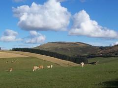 Hill of Tillymorgan, Aberdeen-shire, October 2012, Explored#127 (allanmaciver) Tags: clouds day cows sheep cloudy hill farmland explore aberdeen remote 2012 lonley fertile tillymorgan creativephotocafe