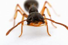 42-27842533 (gonz portas) Tags: animals standing insect one wildlife ant nobody whitebackground bones studioshot jawbone naturalworld frontview invertebrate mandible closeupview oneanimal animalhead thenaturalworld