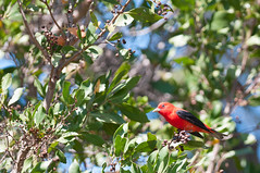 Scarlet Tanager (2013) Dry Tortugas National Park, Florida (jpaton1963) Tags: drytortugas gardenkey nationalpark parquenacional scarlettanager wildlife birds geo:lon=82872725 exif:focal_length=300mm camera:model=nikond300 geostate geo:lat=24628571666667 geocity geocountrys exif:model=nikond300 exif:iso_speed=200 exif:aperture=28 exif:lens=3000mmf28 exif:make=nikoncorporation camera:make=nikoncorporation