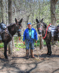 Stubborn as a mule, I mean Steve (decorahman) Tags: animal rural iowa riding mules hdr mule decorah trailride 3ex