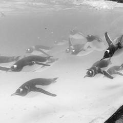 Penguin Pool (dawnmagee) Tags: bird