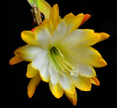 Epiphyllum Bloom (Bill Gracey) Tags: plant nature garden softbox epi softlight epiphyllum excellence offcameraflash strobist cactusfamilycactaceae orchidcacti eifphalloffame leafcacti epiphyticplant yn560ii yongnuorf603n