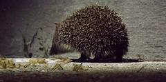 Hedgehog - Walking in the dark (vegeta25) Tags: nature animal fuji fujifilm hedgehog állat természet sün süni myfuji sünike s3200 113picturesin2013