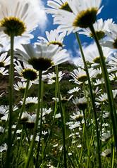 Mr Blue Sky (Raggedjack1) Tags: cornwall coastal whiteflowers oxeyedaisy leucanthemumvulgare