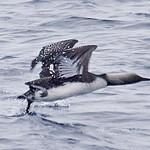 008003-IMG_5566 Pacific Diver (Gavia pacifica) thumbnail