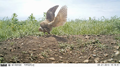 Burrowing Owls (Athene cunicularia) (Mark Herse) Tags: bird nature pair conservation breeding mating flinthills athenecunicularia burrowingowl copulation burrowingowls tallgrassprairienationalpreserve