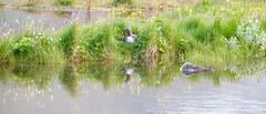Red-throated Diver - Gavia stellata - Lmur (*Jonina*) Tags: reflection birds iceland 500views sland speglun fuglar 1500views fskrsfjrur faskrudsfjordur naturethroughthelens jnnagurnskarsdttir