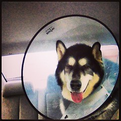 Coned (DiPics) Tags: dog pet circle cone jamesdean msh0115 113picturesin2013 46apet msh011513