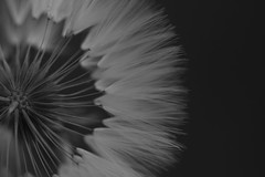 Dente-de-leão (taraxacum officinale)(6804) (Jorge Belim) Tags: flora flor pb dentedeleão canoneos50d