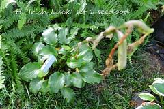 DSCN9333 (moccasinlanding) Tags: fragrant seedpods hosta 2012 lotg irishluck