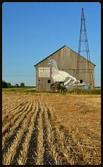 Watchful Pigeon (timmerschester) Tags: art field barn painting artist michigan pigeon wheat huroncounty hygienicdressleaguecorporation