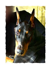 Grady (Memotions) Tags: portrait dog pets ontario canada texture animal digital guelph manipulation filter doberman patty embossed 2013 ohearn kickham