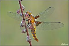 Libellula depressa (female) (alfvet) Tags: macro nikon dragonflies ngc natura npc libellule insetti valsesia sigma150 veterinarifotografi d5100