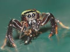 Food Found (CharlesLam) Tags: macro insect geotagged hongkong spider fotan kclama geo:lon=11419822 geo:lat=2239351