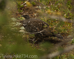 "Dusky Grouse • <a style=""font-size:0.8em;"" href=""http://www.flickr.com/photos/63501323@N07/9683124616/"" target=""_blank"">View on Flickr</a>"