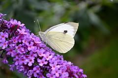 Large White Butterfly Pieris Brassicae (Seventh Heaven Photography) Tags: large white butterfly pieris brassicae buddleia purple flowers blooms summer garden shropshire england britain nikond3200 nature wildlife papillon